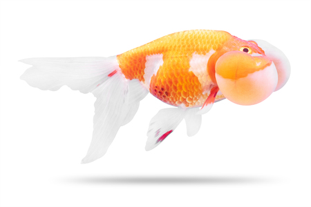 Golden fish isolated on white background. Goldfish and bubble eyes. ( Clipping path )