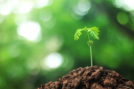 Growing trees from seeds grown in the ground amidst the natural background. Sprouting green leaves tree in the concept of starting a new life and a beautiful environment and fresh air. Stock Photo