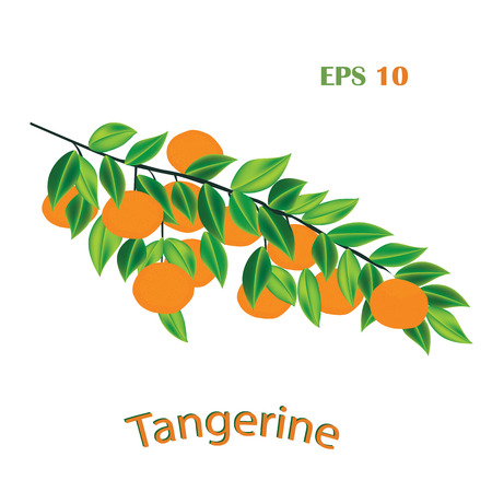 tangerines on a branch with leaves isolated on white background vector design element
