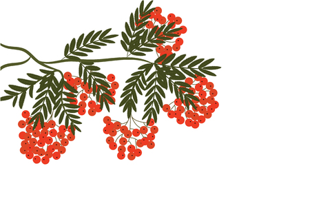 branch of red mountain ash - isolated on white background - art creative vector Çizim