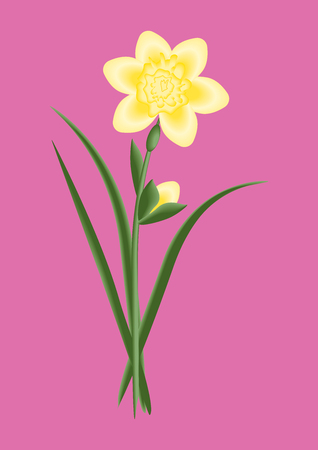 Pale Yellow daffodil with bud - pink background - vector art.