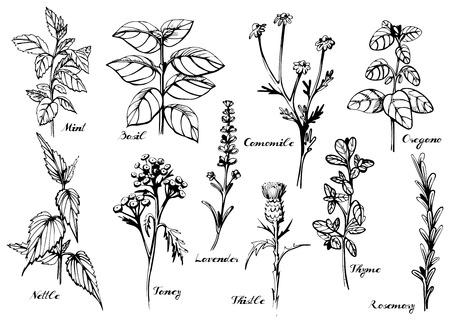Ilustración vectorial de hierbas medicinales conjunto con etiquetas de caligrafía: menta, albahaca, manzanilla, orégano, ortiga, tancy, lavanda, cardo, tomillo, romero. Estilo a mano de la vendimia. Ilustración de vector