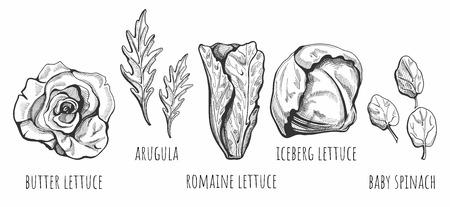 手描きのレタスタイプのベクトルイラスト:バター、ロメイン、氷山、ベビーホウレンソウ、ラベル付きルッコラサラダ。ヴィンテージスタイル