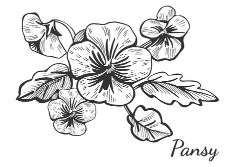 Vector illustration of a hand drawn pansy flower bush. Vintage drawing style bouquet.