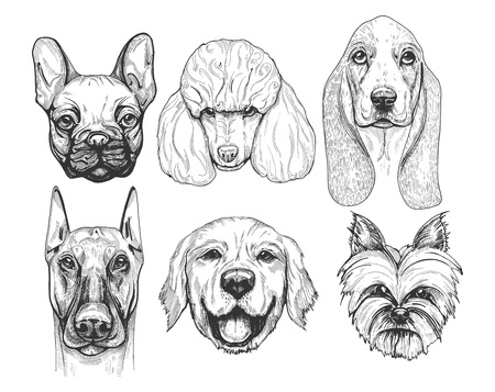 Vector illustration of a different dog breeds portraits. Pug or french bulldog (frenchie), poodle, basset hound, doberman, labrador retriever, yorkshire terrier.