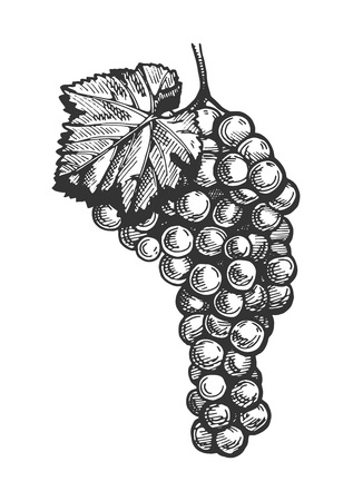 Vector illustration of  grapes bunch in a hand drawn vintage engraving style.
