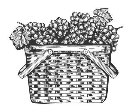 Vector illustration of a basket full of the grapes bunches. Vintage engraving style.