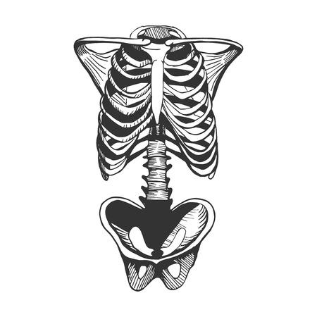 Vektorillustration eines menschlichen Brustkorbs, der Wirbelsäule und der Hüftknochen. Rumpfknochen. Hand gezeichnete Vintage-Gravurart.