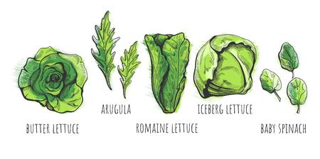 Vectorillustratie van een handgetekende slasoorten: boter, romaine, ijsberg, babyspinazie, rucola-salades met labels. Vintage stijl met gekleurde onderlaag.