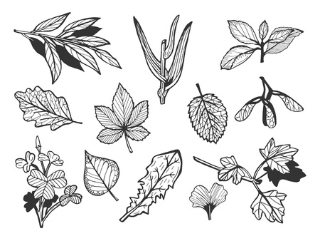 Vector illustration of a different leaves set. Clover, chestnut, gingko, maple, stem, grass, ash, oak, dandelion. Hand drawn doodle outline style.