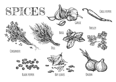 Ilustracja wektorowa zestawu przypraw. Czosnek, koperek, papryczka chili, bazylia, pietruszka, kolendra, nasiona pieprzu czarnego, liście laurowe, cebula. Styl Vintage ręcznie rysowane.