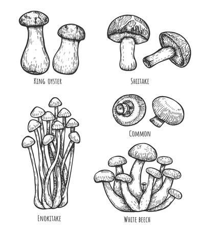 Illustrazione vettoriale di set di funghi commestibili. Comune, shiitake, enokitake, ostrica reale, faggio bianco. Stile vintage disegnato a mano.