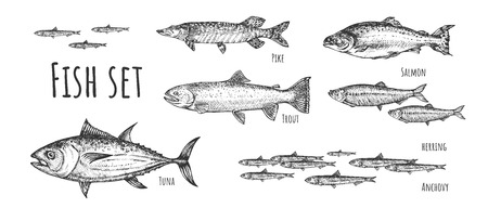 Vector illustration of fish set. Tuna, anchovy, pike, herring, trout, salmon. Vintage hand drawn style. 向量圖像