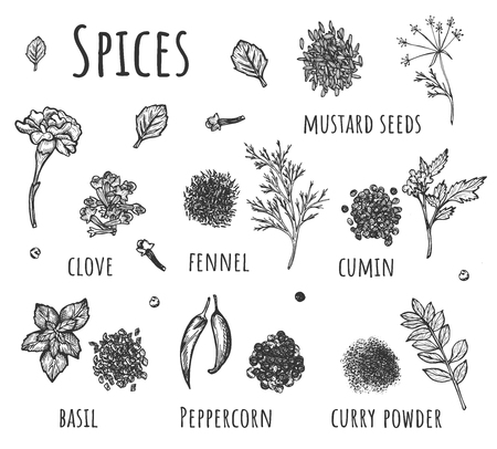 Vector illustration of aromatic food spices set. Peppercorn, cumin, fennel, mustard seeds, clove, basil, curry powder with lettering. Vintage hand drawn style
