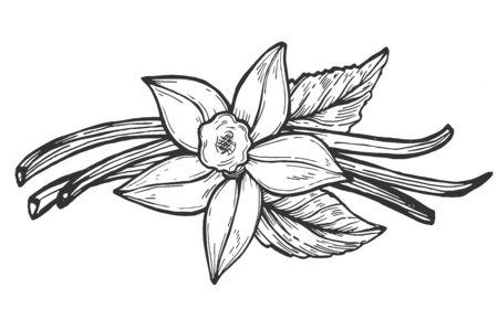 Vektor-Illustration der floralen Komposition. Realistische Vanilleblütenknospe, -blätter und -bohne. Exotisches asiatisches Gewürz für Dessert-, Bäckerei- oder Parfümindustrie. Vintage handgezeichnete Stil.