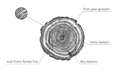 Vector illustration of tree age diagram. Circles of wood on cut. Rainy and dry seasons, forest fire, first year of growth. Plant age and vegetation conditions determination. Vintage hand drawn style.