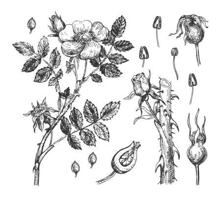 Vektorillustration des botanischen Satzes. Wilde Hagebutte oder Hagebutte Blumen und Blütenblätter und Beeren. Natürliches Kraut für Kosmetik und Medizin. Vintage handgezeichnete Stil. Vektorgrafik