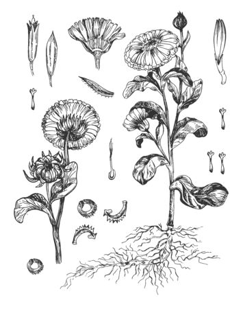 Vector illustration of calendula plant botanical. Medical herb flowers, buds, leaves, stem, roots, sprout, stamen, gynoecium. Farmers market natural med. Vintage hand drawn style.