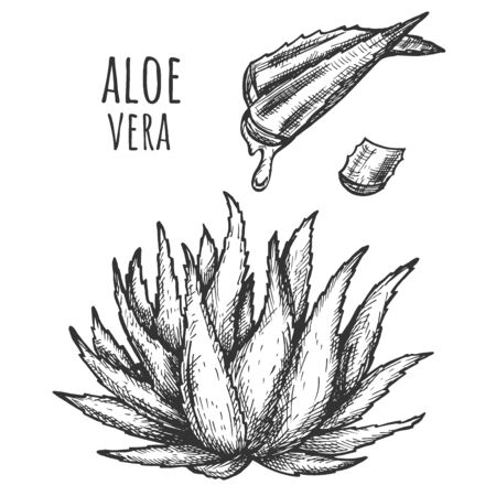 Vector illustration of antibacterial medicinal succulent. Aloe Vera plant bush and leave with gel juice drop. Skin care cosmetic or medicine concept. Vintage hand drawn style.