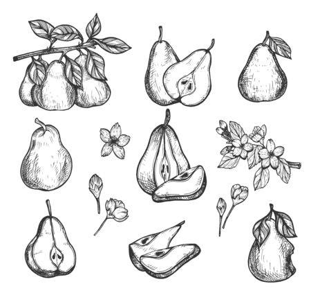 Vector illustration of ripe raw fresh fruit set. Pear from different angle. Whole fruit, cut slice, half, growing on tree branch, flowers blossom, stub, plant leaves. Vintage hand drawn style.