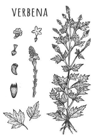 Illustration vectorielle de l'ensemble botanique d'herbes médicales de verveine. Feuilles, fleurs, graines et brindilles. Verveine crue. Cosmétiques naturels, médecine, ingrédient de soin de la peau. Style vintage dessiné à la main. Vecteurs