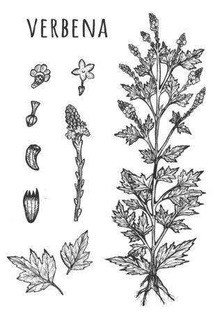 Vector illustration of verbena medical herb botanical set. Leaves, flowers, seeds and twigs. Raw vervain. Natural cosmetics, medicine, skincare ingredient. Vintage hand drawn style. Illusztráció