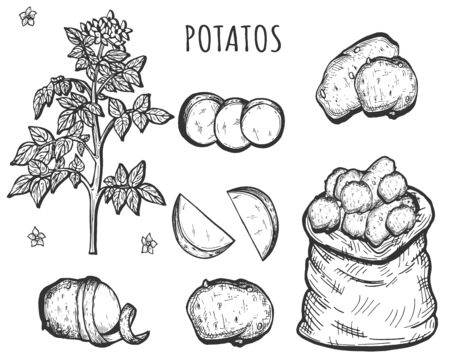 Vector illustration of potatoes set. Plant with flower, different slices. Circles, wedges, halves. Vegetables in sack. Vintage hand drawn style. Çizim