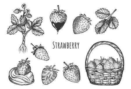 Vector illustration of berry set. Strawberry in basket. Single, half, with chocolate and cream, plant with roots. Vintage hand drawn style.