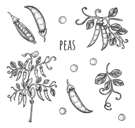 Vector illustration of farming set. Ripe peas plant and beans. Branch with leaves, pod. Vintage hand drawn style.  イラスト・ベクター素材