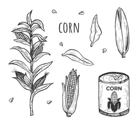 Vector illustration of corn crop and cooked product farm set. Agricultural plant, canned, ear. Vintage hand drawn style.