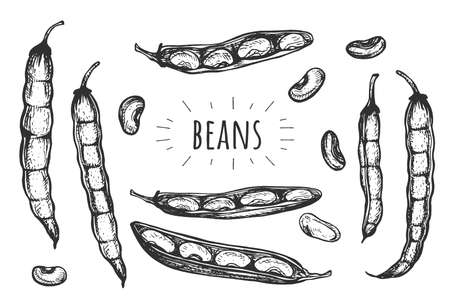 Vector illustration of beans. Opened and closed bean-pod, scattered seeds food ingredient. Vintage hand drawn style.