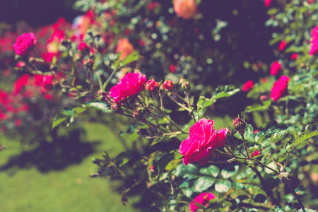 Red flowers in the green garden. Rose blossoms on blurred background
