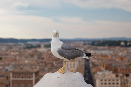 Mediterranean gull seating on roof of Vittoriano in Rome, Italy. Summer background with sunny day and blue sky Imagens