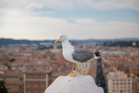 Mediterranean gull seating on roof of Vittoriano in Rome, Italy. Summer background with sunny day and blue sky Фото со стока