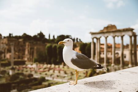 Mediterranean gull seating on stones of Roman forum in Rome, Italy. Summer background with sunny day and blue sky