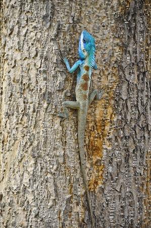 Asia chameleon Stock Photo