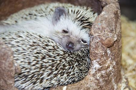 prickles: Pygmy hedgehog.