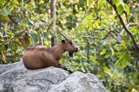Mountain goat. photo