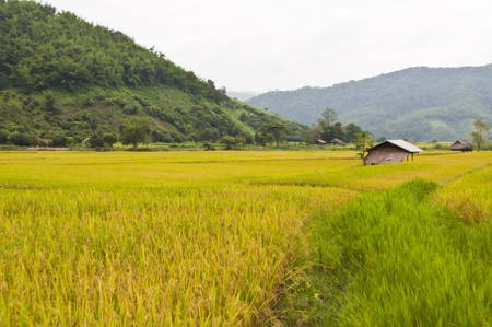Beautiful landscape of rice field in Thailand. Stock Photo