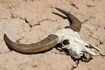 Buffalo skull in drought disaster land