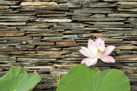 Lotus with stone wall background  photo