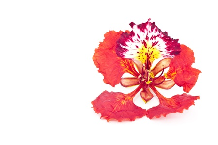 flamboyant: Flame tree flower isolated