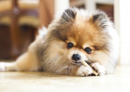 Pomeranian enjoy it s snack  Imagens