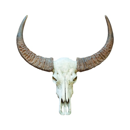 bovine: Buffalo skull isolated