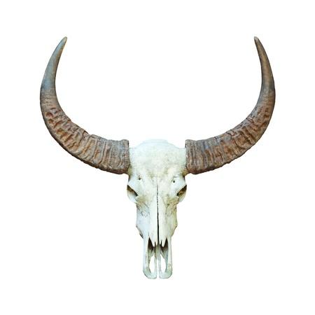 dry cow: Buffalo skull isolated