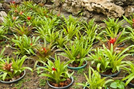 vriesea: Vriesea Platynema ananas pianta Archivio Fotografico