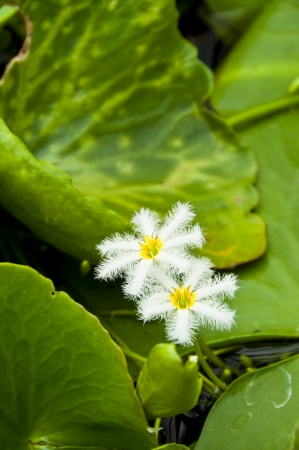 White spider water lily  photo
