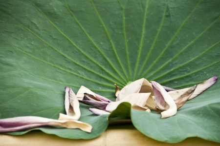 Dry lotus petals on green leaf  photo