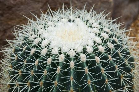 Echinocactus Grusonii Hildm  cactus  photo