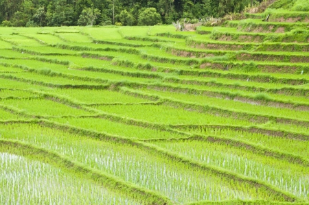 Rice field in northern Thailand Stock Photo - 16566643